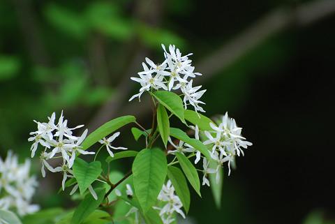 サイフリボクの白い花は