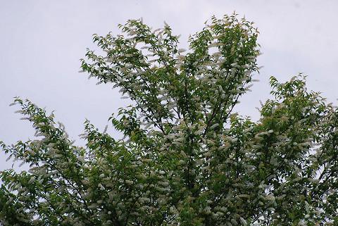 ウワミズザクラの花がきれい