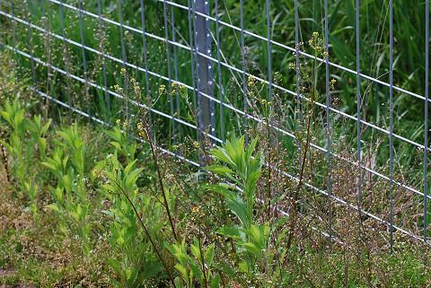フェンスの前のオニタビラコ