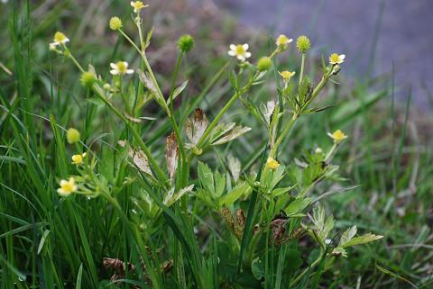 キツネノボタンの黄色い花が (2)