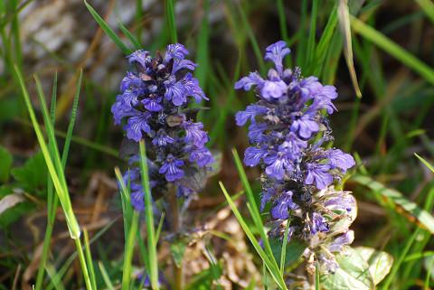 ジュウニヒトエの紫の花