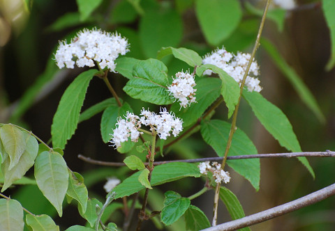 コバノガマズミの白い花1