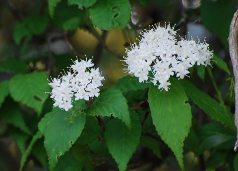 コバノガマズミの白い花2