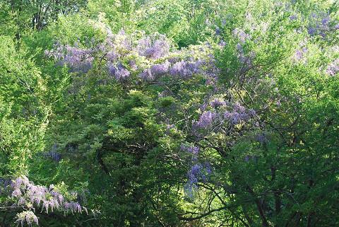 巴川沿いのフジの花が2