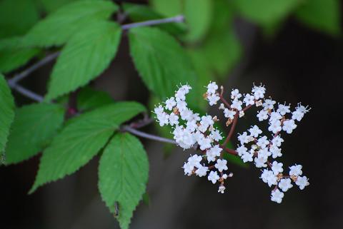 オトコヨウゾメの白い花が