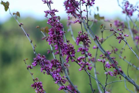 ハナズオウの花が