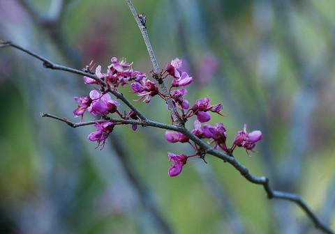 ハナズオウの花アップ