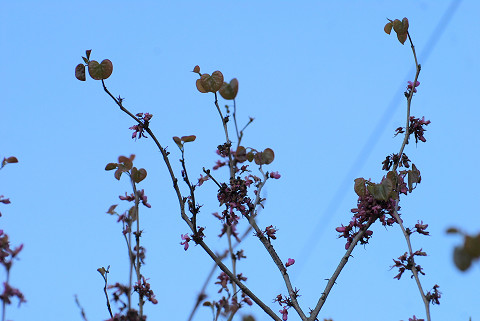 ハナズオウの丸い葉