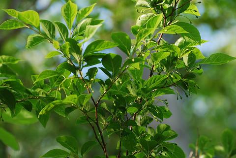 エゴノキの花芽は