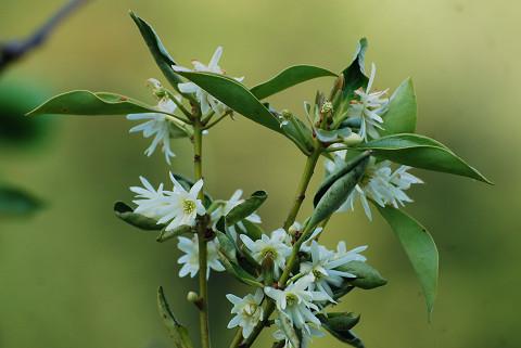 シキミの白い花が