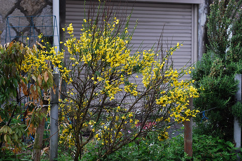 エニシダの黄色い花が1