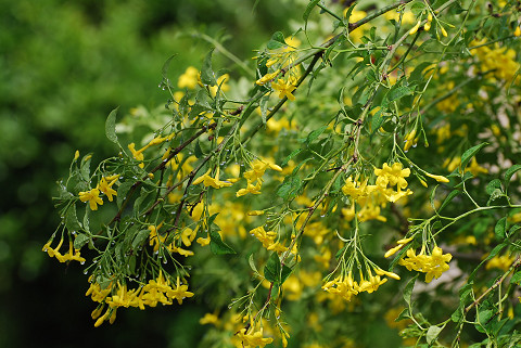 エニシダの黄色い花が2