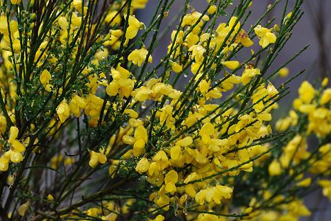 エニシダの黄色い花が3