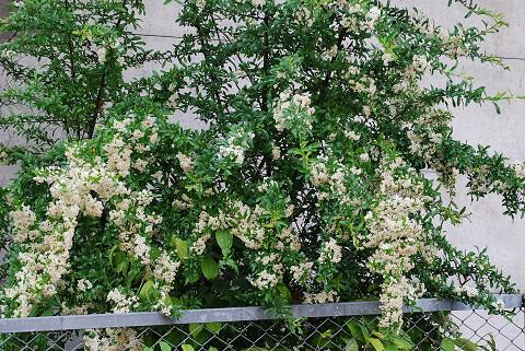 白い花は何1