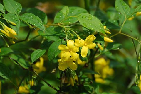 この黄色い花は4