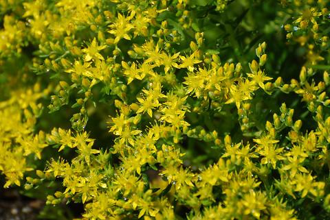 コモチマンネングサの黄色い花