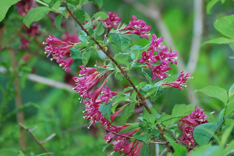 ヤブウツギの赤紫の花1