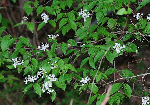 オトコヨウゾメの白い花は