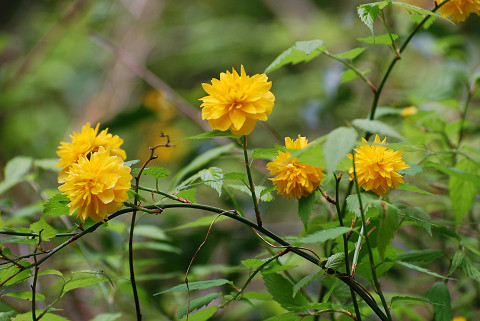 ヤエヤマブキの黄色い花は