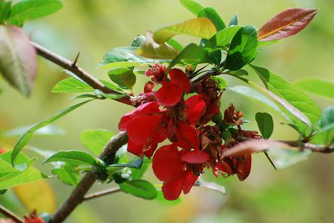 ボケの真っ赤な花