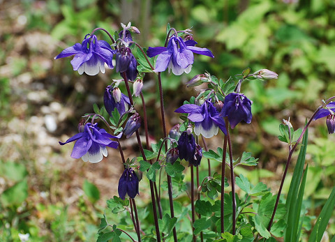 オダマキの紫の花が