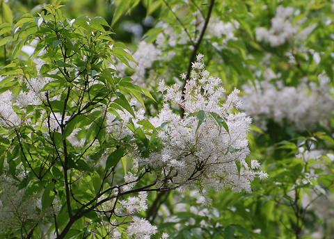 アオダモの白い花が