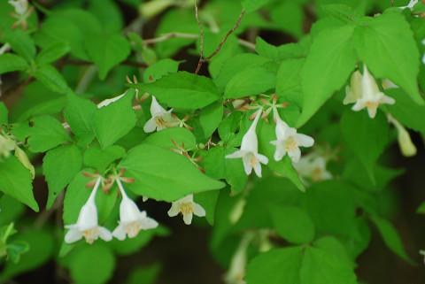 ツクバネウツギの白い花が