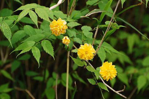 ヤエヤマブキの花三つ