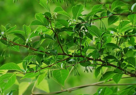 エゴノキに花芽が垂れ