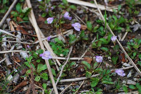 トキワハゼの薄紫の花が