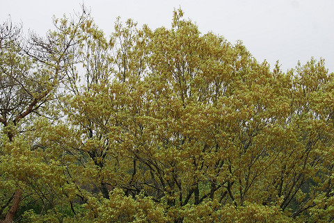 コナラのお花が黄色い
