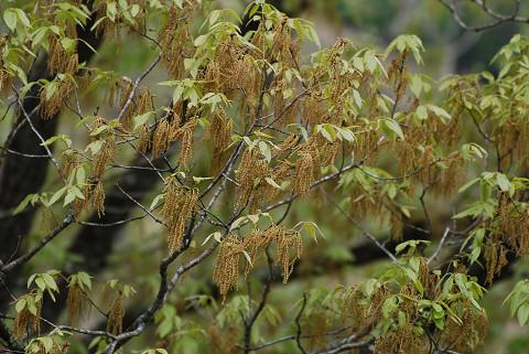 黄色いコナラの雄花