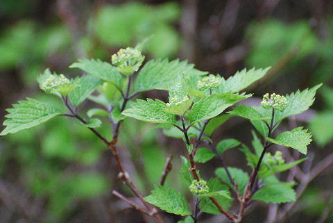 コアジサイの花芽が