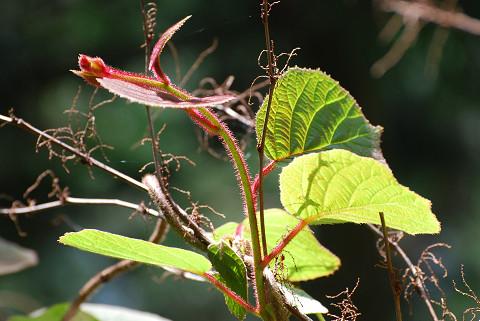 サルナシの赤い新芽