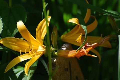 キツネノカミソリの黄色い花