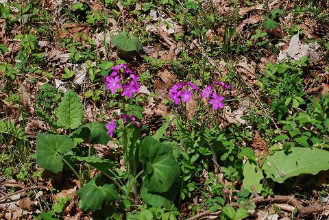 カッコソウのピンクの花