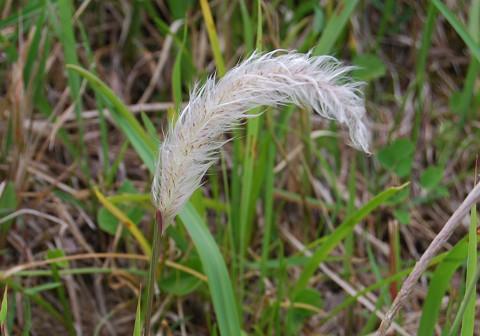 チガヤの白い穂