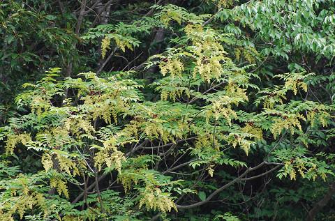 ジャケツイバラの黄色い花が