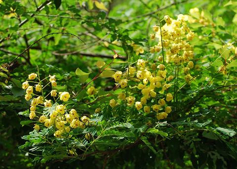 ジャケツイバラの花が