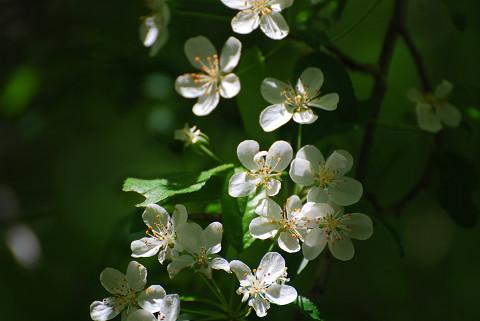ここにもズミの花が