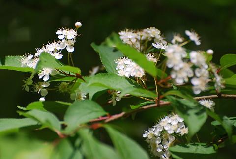 カマツカの白い花は