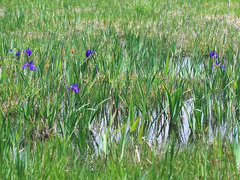 湿原にカキツバタが