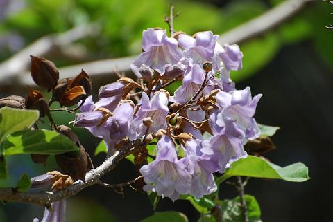キリの木の花が