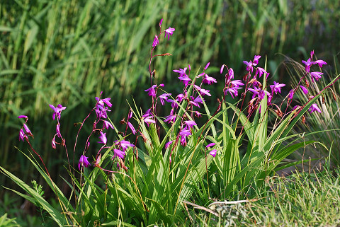 シランの紫色の花1