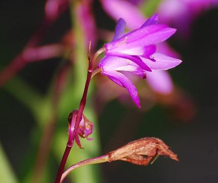 シランの紫色の花2