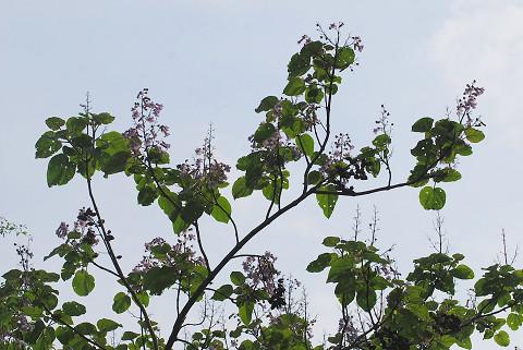キリの花は1