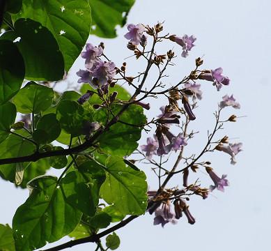 キリの花は2