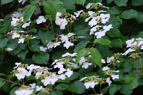 ヤブデマリの花がきれい