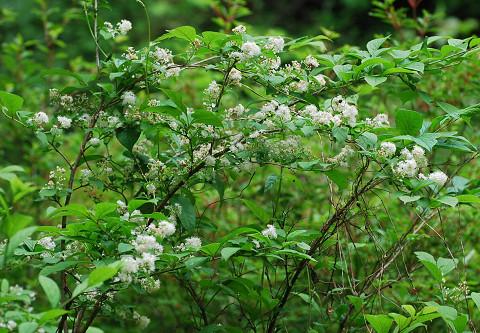サワフタギに白い花が1