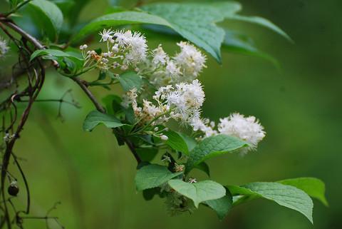 サワフタギに白い花が2